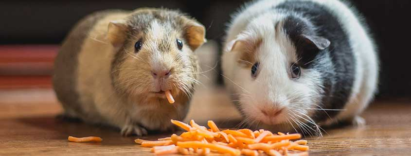 Guinea Pigs Snacking